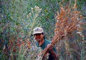 harvesting apocynum (Indian hemp)
