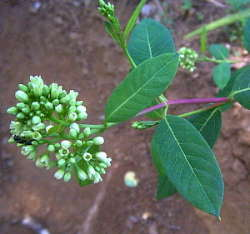 Apocynum flower (also called Indian Hemp or dogbane)