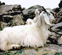 cashmere goats for fine apparel products