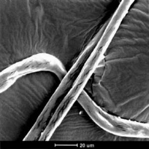 microscopic picture of cotton fibers