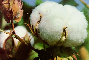 cotton boll in full ripeness