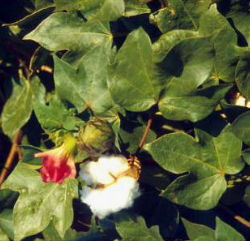 cotton plant with flower