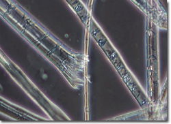 microscopic view of ramie fibers