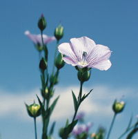Flax linen flower in blossom