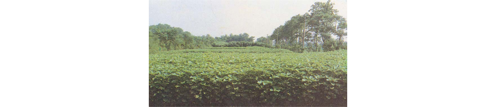 Ramie field in China