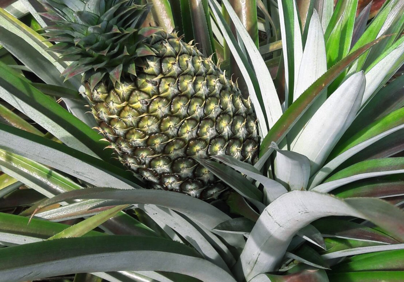 A pineapple in a plant.