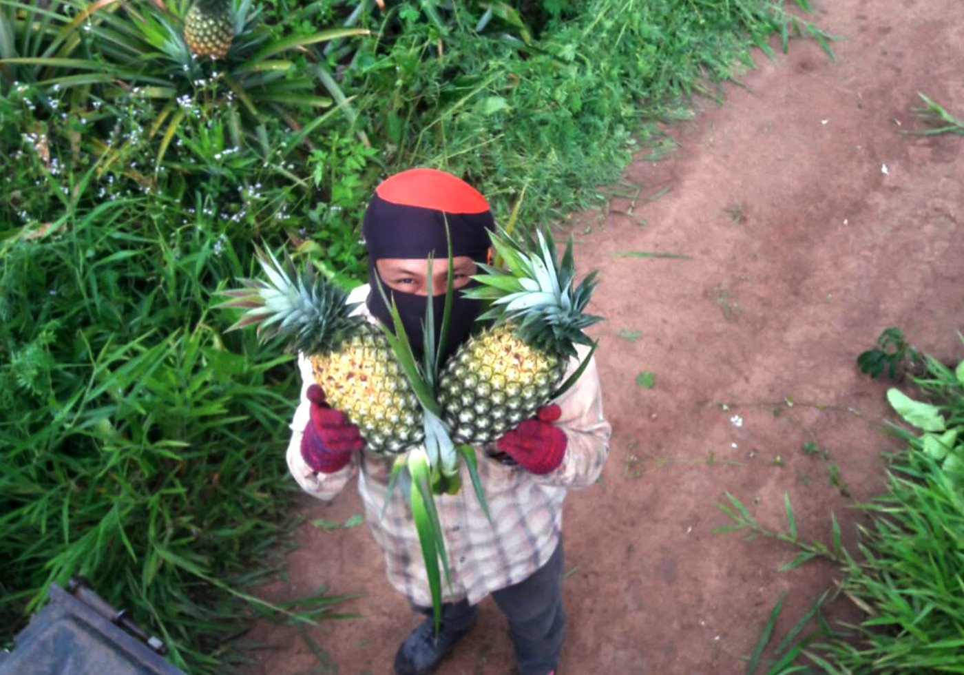 Harvesting of pineapple